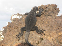 Young iguana clinging to the rocks